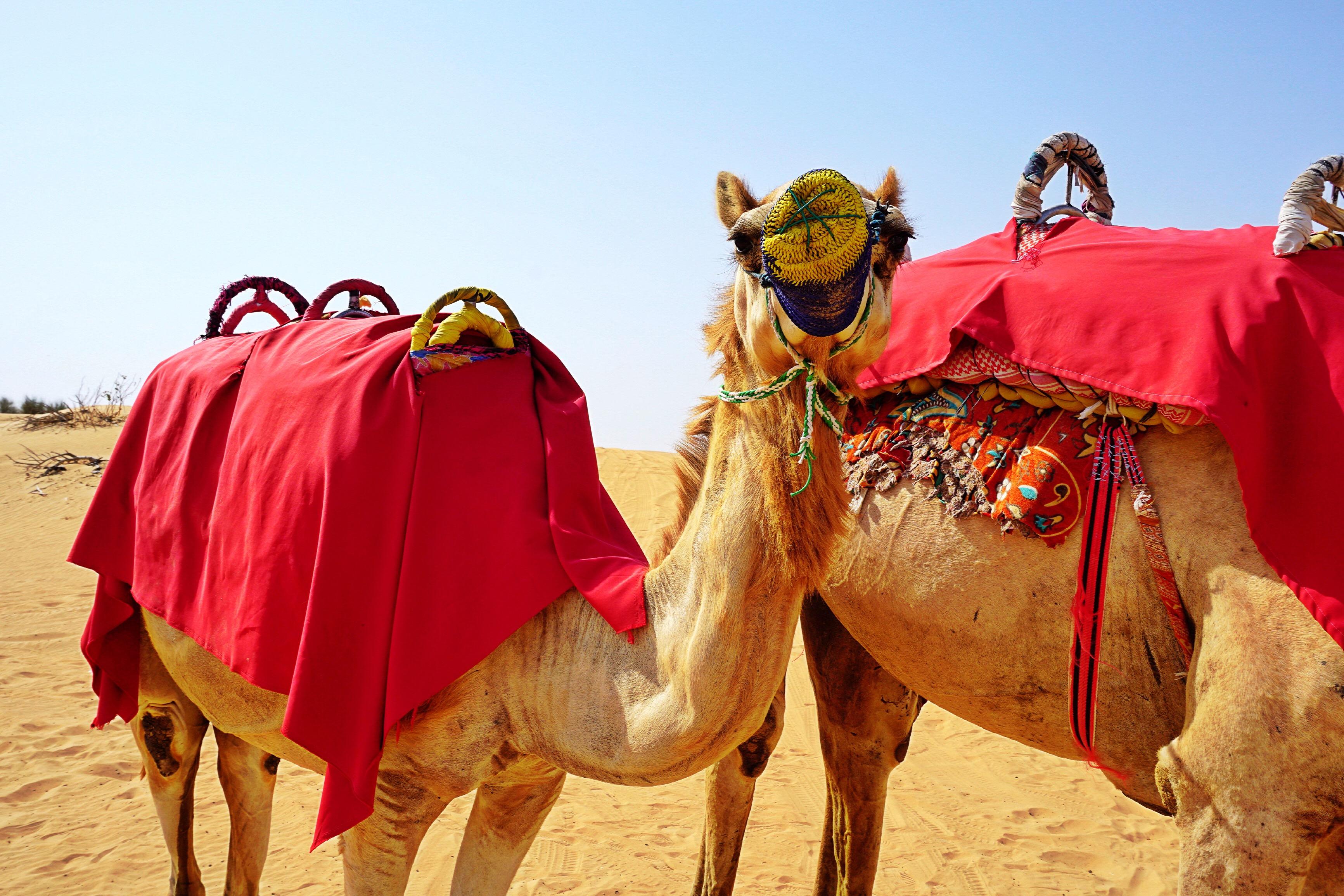 camel-dubai-desert