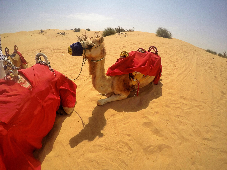 camel-desert-dubai