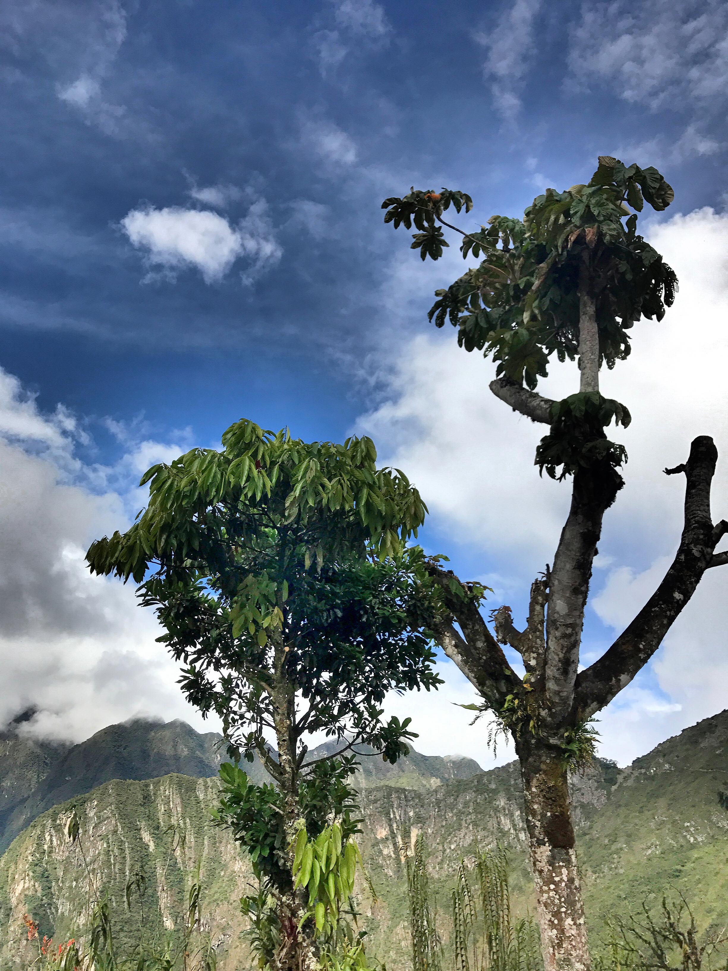 machu-picchu-trees